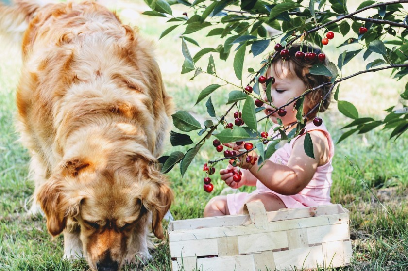 cherries-3497780_1280